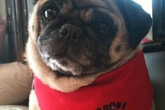 Pug Rescue of New England 5K Run/Walk - Running in Boston.