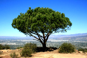The Miracle Tree of Cahuenga Peak